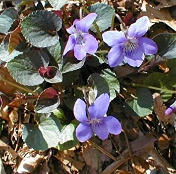 Labrador Violet 30 Seeds - Viola - Shade Perennial Easy to Grow, Plant, Seasons, Meaningful Gift.